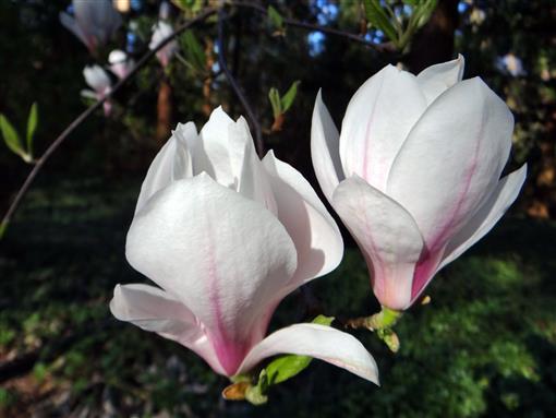 Magnolien Blüte