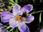 Frühling I_Krokus mit Erdhummel