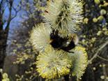 Frühling V_Weidenblüte mit Erdhummel
