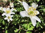 Frühling VI_Buschwindröschen