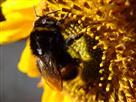 Erdhummel auf Sonnenblume