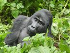 Berg-Gorilla
