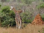Giraffen_Rotschild-Giraffe