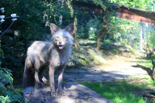 Wolf-Jungtier