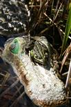 Frosch trifft Kroko