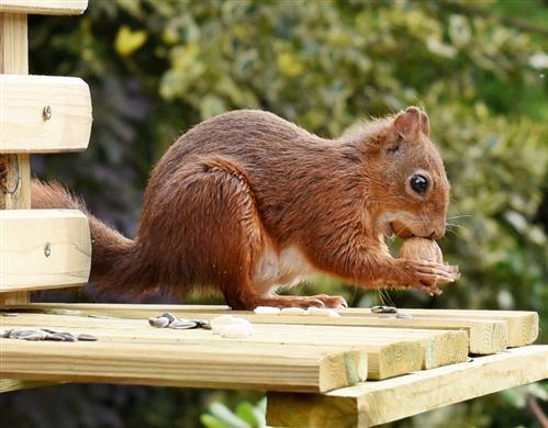 Eichhörnchen mit großem Hunger