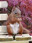 Eichhörnchen - die erste Nuss wird sofort gegessen!