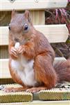 Eichhörnchen beim Mittagessen