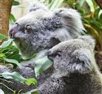Koala mit Nachwuchs