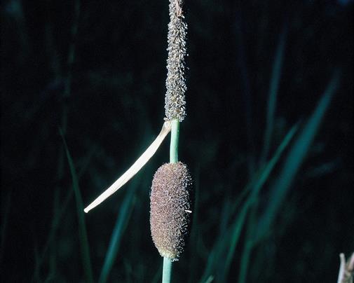 Kleiner Rohrkolben Typha minima