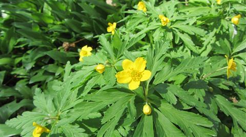 Gelbes Windröschen Anemone ranunculoides