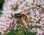 Volucella zonaria Hornussen-Schwebfliege