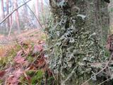 Flechte am Baumstumpf