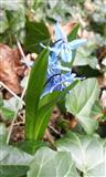 Blaustern - Scilla Bifolia