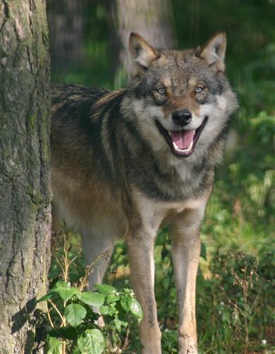 Wolf 1,5 Jahre