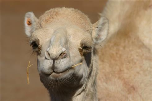 Flirtendes Kamel