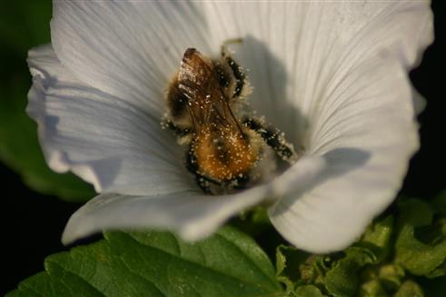 Pollensammeln 1