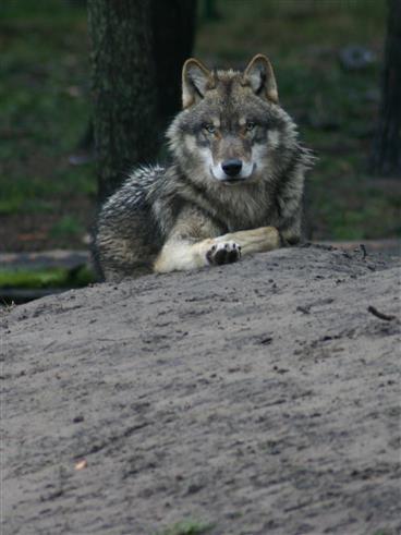 Wolf mit einem Jahr