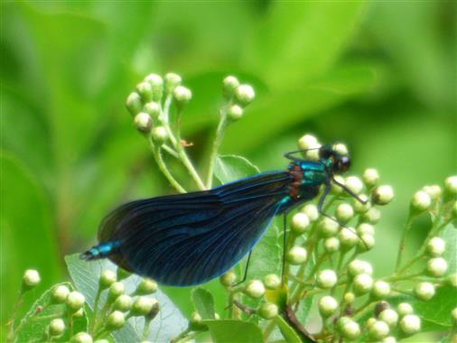 Schwarze Libelle