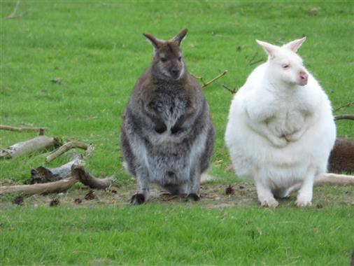 Känguruhbaby ist im Beutel, wer ist wer, Vater oder Mutter?