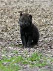 Wolf 3 Wochen alt