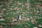 Grauhörnchen im Herbstwald
