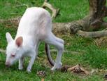 kleines Känguruh alleine unterwegs