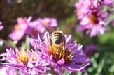 Bienchen beim Sammel