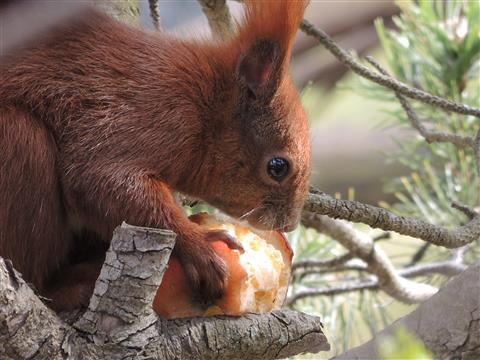 Eichhörnchen futtert Apfel
