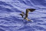Tölpel fängt fliegenden Fisch