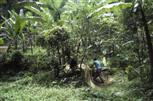 Abaca-Ernte