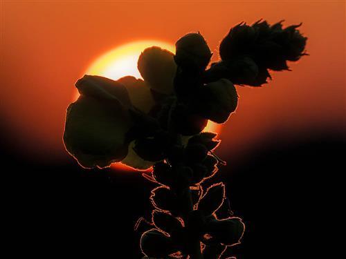 Königskerze vor untergehender Sonne