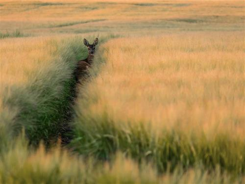 Reh im Getreide