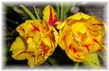 Volle Blüten