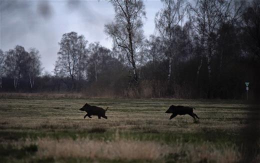 Rennende Wildschweine