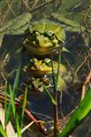 Froschleben