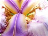 Schwertlilienblütendetail