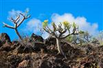 Oleanderblättrige Kleinien
