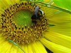 Hummel in der Sonnenblume
