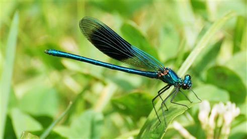 Gebänderte Prachtlibelle Männchen Calopteryx splendens