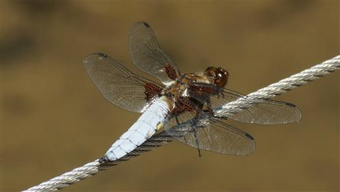 Plattbauch-Männchen Libellula depressa