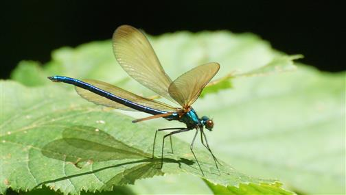 Blauflügel-Prachtlibelle Männchen