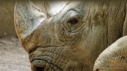 Portrait eines Nashorns