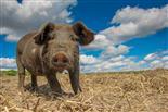 Glückliches Weideschwein