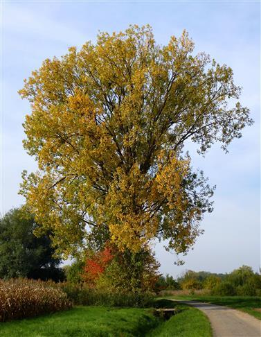 Pappel im Herbstkleid