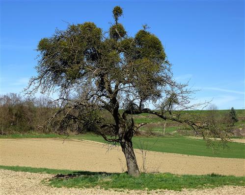Birnbaum mit Mistel-oder umgedreht ?
