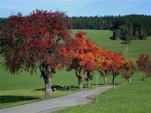 farbeprächtige Birnbäume im Herbst