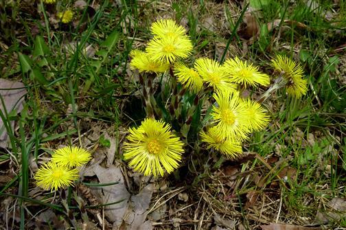 Huflattich, gehört zu den ersten Frühlingsboten