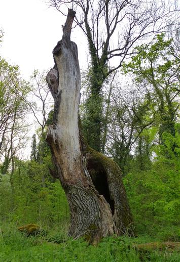 wertvolles Totholz für die Natur - Eiche in den Auenwäldern am Oberrhein
