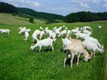 Glückliche Ziegen